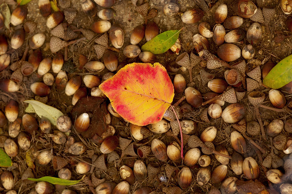 Fall leaf suspended in water with acorns, Garland TX (Dec 2015)