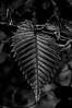 Emerging leaf, Black Forest (Mar 2018)
