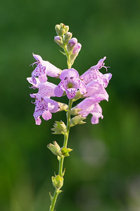 Physostegia intermedia (Slender obedient plant) in the setting sun, Ablon Park, Garland TX (May 2018)
