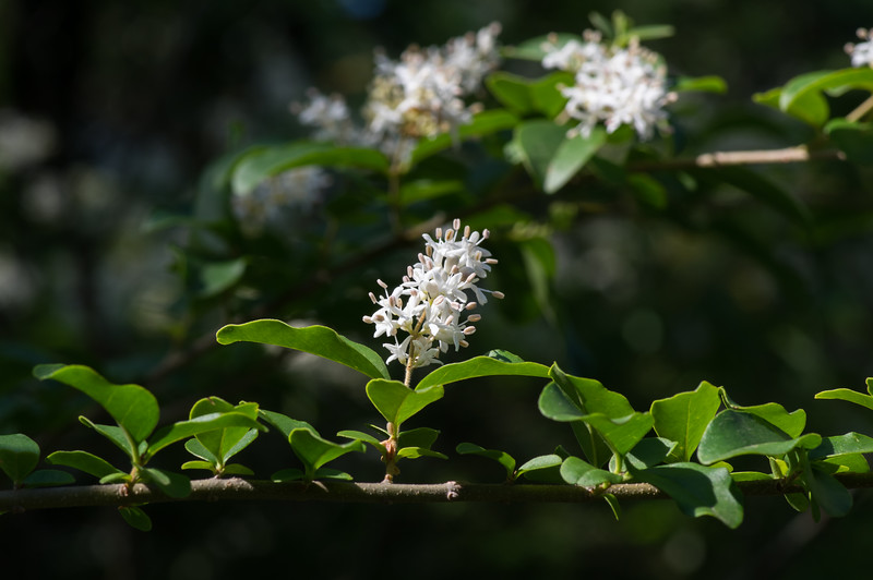 Flowers on Chinese privet, Garland TX (Apr 2016)