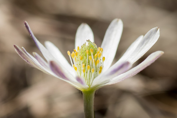 Anemone heterophylla, Garland TX (Mar 2018)