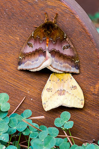 Who's looking up my skirt?! Two moths, Garland, TX (Aug 2019)
