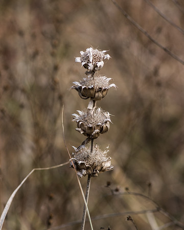 Horsemint going to seed, Garland, TX (Nov 2019)