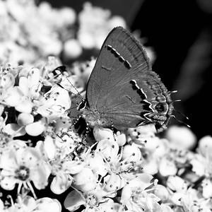 Butterfly in viburnum, Garland TX (Mar 2018)