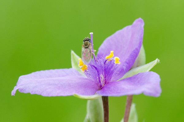 Spiderwort with pollenator, Sunnyvale, TX (Apr 2020)