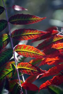 Fall sumac leaves, Garland TX (Oct 2009)