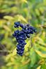 Chinese privet berries, Garland TX (Dec 2015)