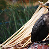 Cormorant, Floating Island, Lake Titicaca, Peru<br /> <br /> Islanders sell cormorants for $75US to mainland, apparently if you cut the head off and drink the bird dry of blood it cures epilepsy and other diseases.