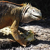 Land Iguana eating Prickly Pear ~ Santa Fe Island