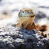Land Iguana ~ Santa Fe Island