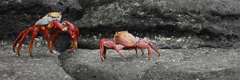 Sally Lightfoot Crabs ~ Las Bachas, Santa Cruz Island.