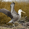Young Waved Albatross ~ Punta Suarez, Española Island. Not yet able to fly, the young albatross strengthens his wings.