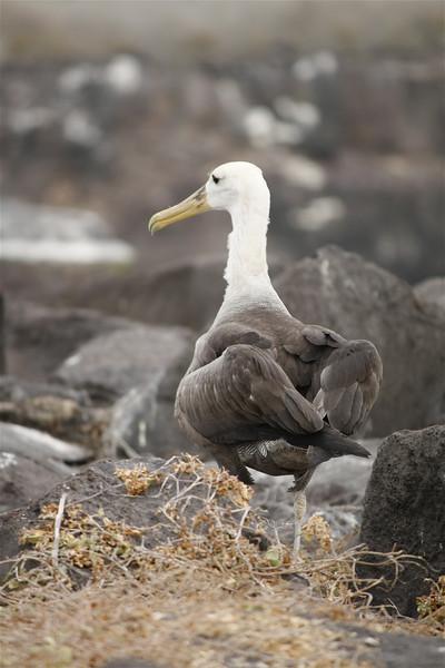Young Waved Albatross ~ Punta Suarez, Española Island