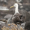 Young Waved Albatross ~ Punta Suarez, Española Island