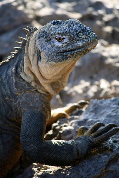 Marine Iguana ~ Santa Fe Island
