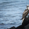 Blue-footed booby ~  Española Island