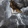 Galapagos Hawk ~ Punta Suarez, Española Island