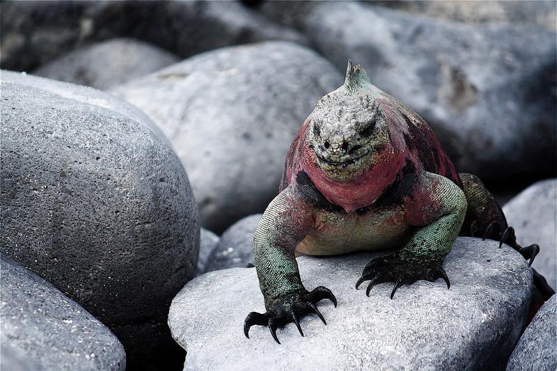 Marine Iguana ~ Española Island. It is only here that Marine Iguanas  change color during breeding season.