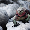 Marine Iguana ~ Española Island. It is only here that Marine Iguanas  change color during breeding season.