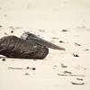 Brown Pelican ~ Las Bachas, Santa Cruz Island.