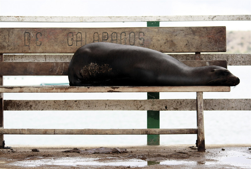 A sea lion taking a rest ~ Baltra Island: