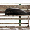 A sea lion taking a rest ~ Baltra Island: