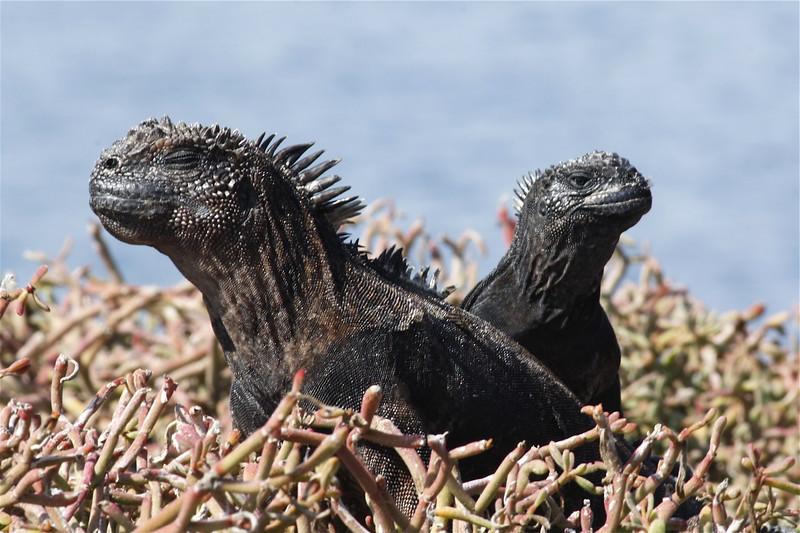 Marine Iguanas ~ Santa Fe Island