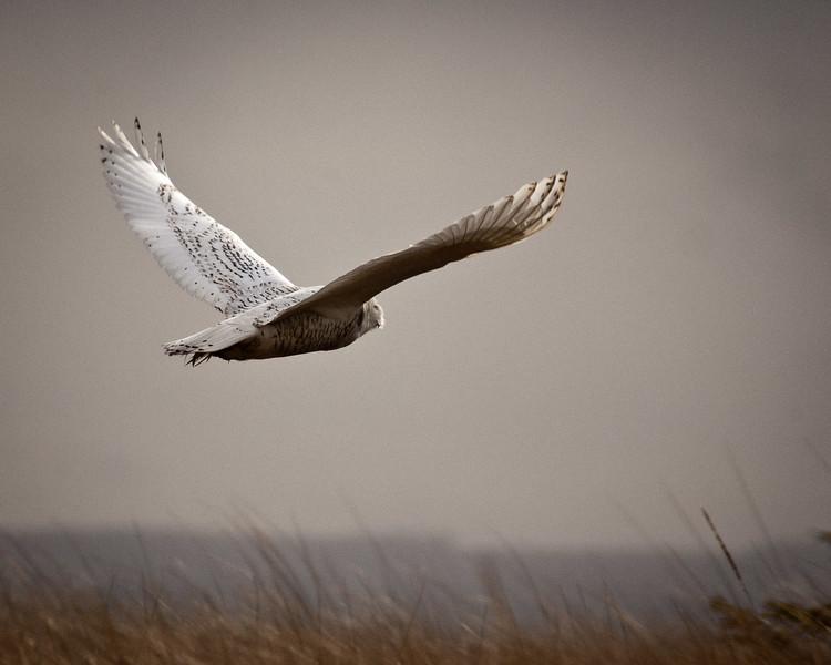 Flight of the Snowy Owl