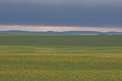 Canola field on a cloudy morning.  Which do you prefer, this one or the next one? Why?