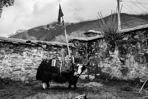 A yak stands beneath a Chinese flag in a small Tibetan village in Dagze on July 23, 2018.