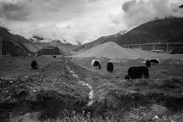 Yaks graze through construction zone on the outskirts of Lhasa, TAR on July 23, 2018.