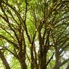 Bigleaf Maple Canopy