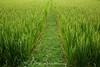 Rice Paddy Walk, Ubud