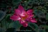 Lotus Blossom, Lotus Cafe, Ubud