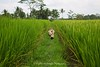 Rice Paddy Walk, Ubud