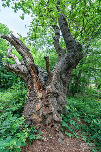 Pulpit Oak, Epping Forest