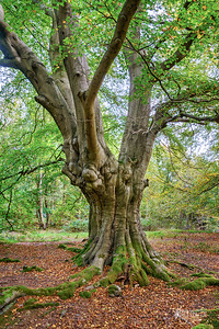 B15 Twisted Beech in Spring