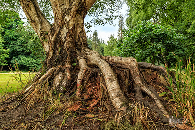 Silver Birch growing over a redwood stump.