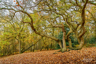 Coppiced Oak at Danbury, Essex