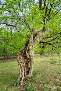 Hornbeam at Warren Hill, Epping Forest