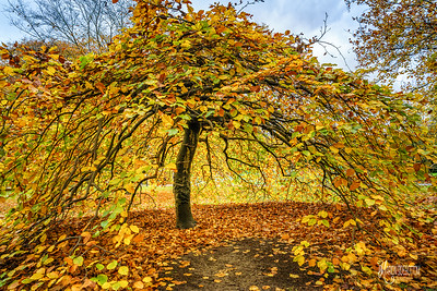 Autumn Beech at Kew