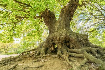B2 Oak Tree in Spring at Barn Hoppitt