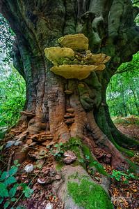 B5 Ancient Beech & its Fungi