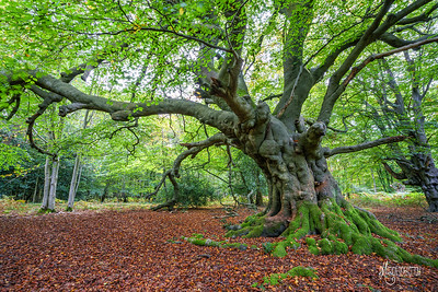 Ancient Beech near Flagstaff Hill, Epping Forest