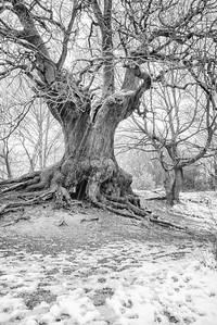 B7 Snowfall on Oak Tree at Barn Hoppitt