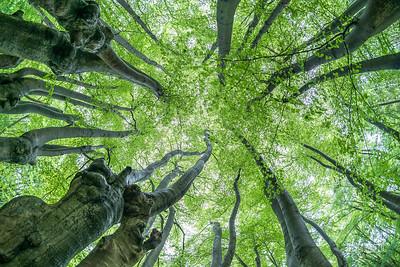 C6 Tree Canopy, Dulsmead Hollow