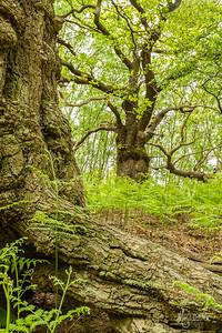 Ancient Oak Woodland at Staverton, Suffolk