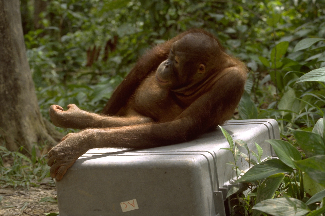 On the Case - Orangutan lounging on our Pelican.