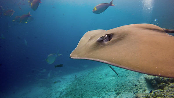 Stingray clouseup