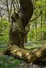 Tewin Wood
